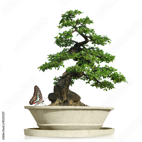Recess Fitting Bonsai bonsai tree with Butterfly isolated