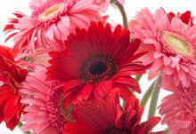 Pink And Red Gerbera
