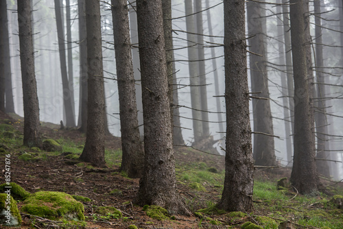 Foto op Plexiglas Landschappen Fog in the Forest. Foggy Morning in the Pine Forest.