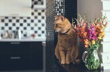 Domestic Red Cat
