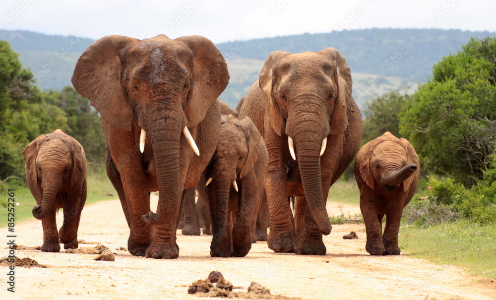 einzelne bedruckte Lamellen - A herd of elephants with baby calves approaches us. Took the shot at a low angle to enhance the portrait. Taken in Addo elephant national park,eastern cape,south africa