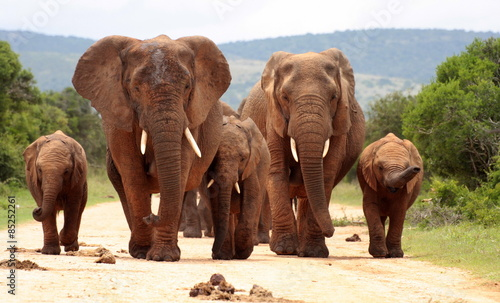 Spoed Foto op Canvas Afrika A herd of elephants with baby calves approaches us. Took the shot at a low angle to enhance the portrait. Taken in Addo elephant national park,eastern cape,south africa