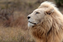 A Huge Male White Lion Lying D...