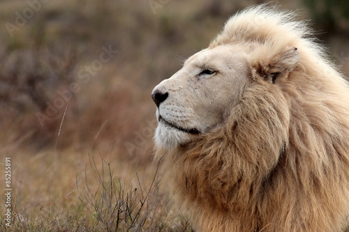 A huge male white lion lying down in this portrait. South Africa.