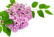 Lilac Blossoms on white background
