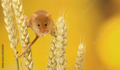 Fototapeta A little harvest mouse climbing on some wheat obraz