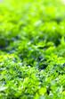 parsley close-up