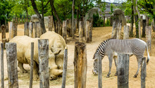 Two White Rhinos And A Zebra Eating