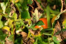 Agriculture Sick Plant