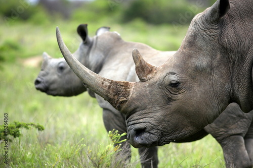 Foto op Plexiglas Neushoorn A close up of a female rhino / rhinoceros and her calf. Showing off her beautiful horn. Protecting her calf. South Africa
