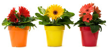 Potted Daisies In A Row