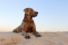 A Weimaraner Dog With The Sea In The Background
