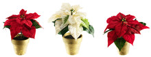Potted Silk Poinsettias As Christmas Border, Isolated On White.
