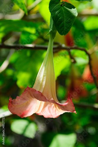 Campanelle Fiori.Fiore Campanella Rosa Foglie Sfondo Cielo Azzurro Buy This Stock