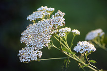 Wildflower - Yarrow (Achillea ...