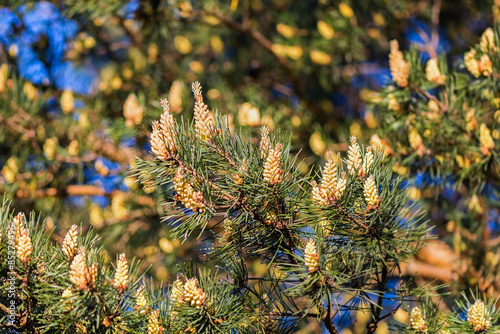 Blooming pine tree closeup with yellow pollen - Buy this