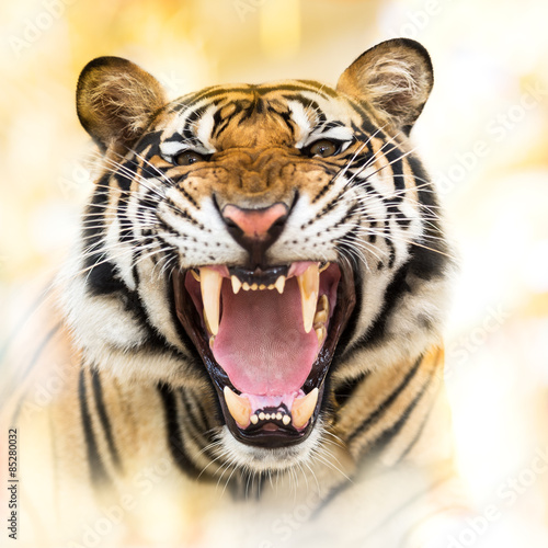 Poster Tijger Growl siberian tiger