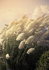 Fototapeta Egzotyczne Pampas grass
