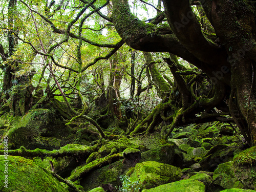 Primeval forest at Yakushima in Japan Billede på lærred
