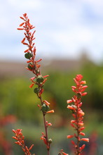 A Red Yucca Bloom Flower, With Seed Pods Growing On The Stem, As Well.