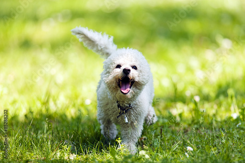 bichon in the park Fototapet