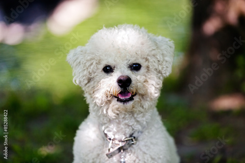 Photo bichon in the park