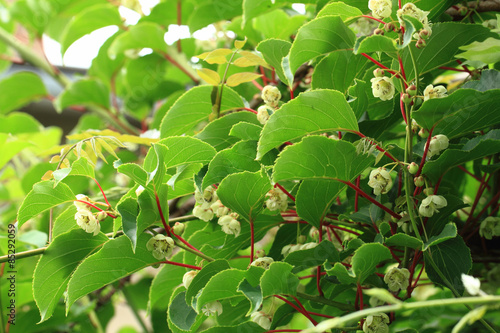 kiwi flowers and plant (actinidia) Canvas Print
