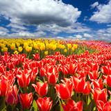 Pole uprawne tulipanów w Holandii
