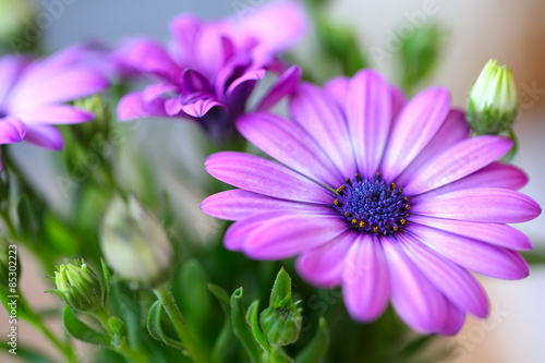 beautiful purple daisies