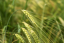 Detail Of Green Barley Spikes