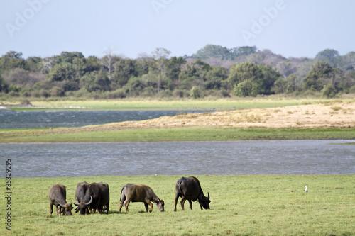 Aluminium Prints Bison Wild water buffalo in Mynneriya, Sri Lanka