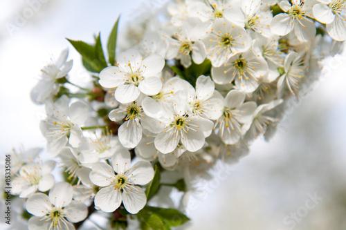 Kwiat wiśni, kwitnąca wiśnia, białe kwiaty