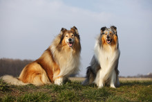 Portrait Of Two Rough Collies Sitting On A Meadow