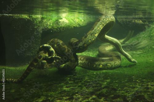 Photo Green anaconda (Eunectes murinus)