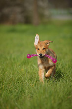 Harzer Fuchs Puppy With Dog Toy Running On A Meadow