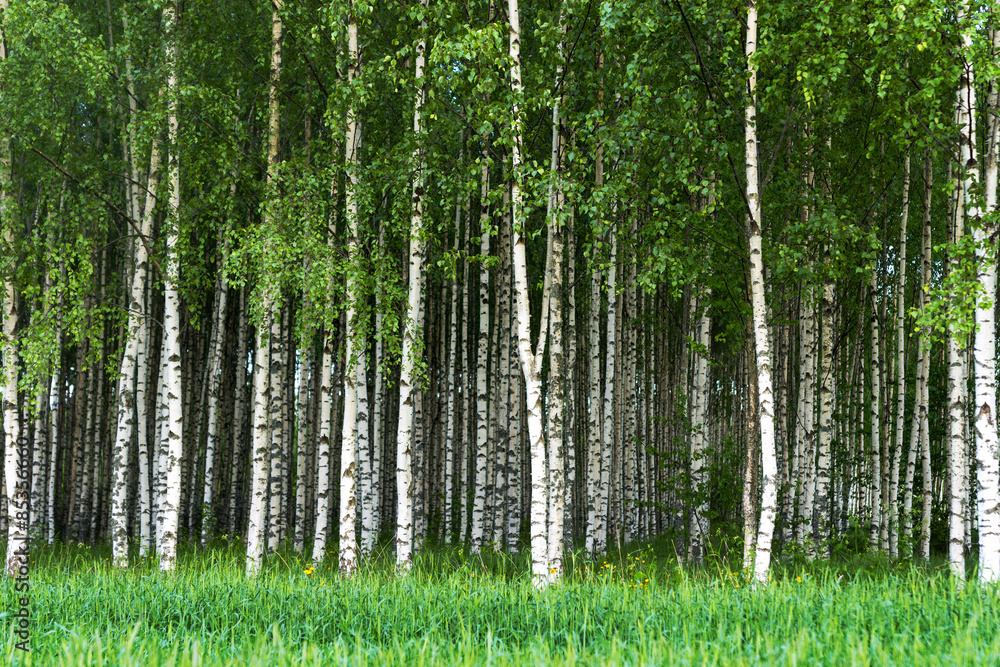 Fototapeta Grove of birch trees