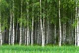 Grove of birch trees - 85356660