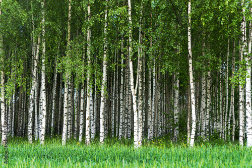 Obraz Grove of birch trees - fototapety do salonu