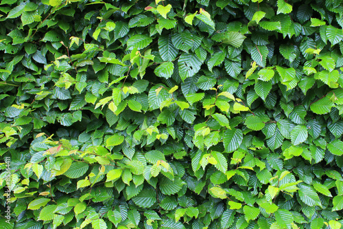 Foto Haie de Charme \ Carpinus Betulus
