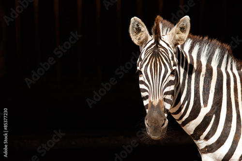 Wall Murals Zebra Zebra with black background