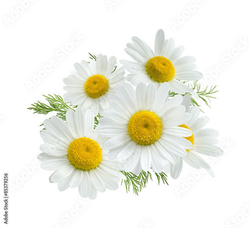 In de dag Madeliefjes Camomile group isolated on white