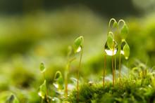 Water Drops In Moss