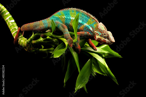 Keuken foto achterwand Panter Blue Bar Panther Chameleon isolated on black background