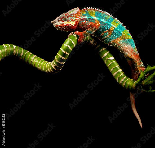Photo Stands Panther Blue Bar Panther Chameleon isolated on black background