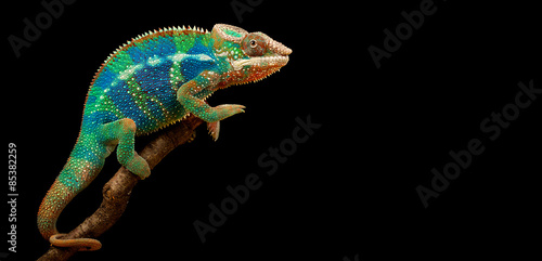 Tuinposter Panter Blue Bar Panther Chameleon isolated on black background