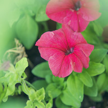 Two Red Petunia Flowers In Bloom On A Green Garden Pot
