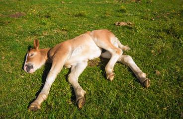 Naklejka na ściany i meble Animali buffi: piccolo di cavallo sdraiato sul prato