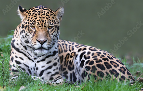 Frontal view of a Jaguar (Panthera onca)