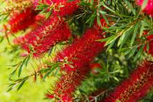 Callistemon Red Flower Like A Brush