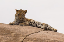 Leopard Cub Resting On A Large...
